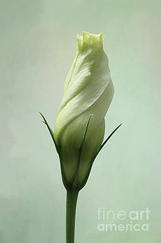 Tomorrows Beauty - Pale Green Lisianthus V2 by Judy Whitton