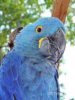 Cindy Treger - Toothless Beaked and Blue - Hyacinth Macaw