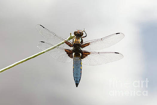 Top or dorsal view of a single male Broad-bodied Chaser dragonfl by Paul Farnfield