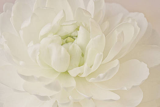 Sandra Foster - Top View - White Ranunculus