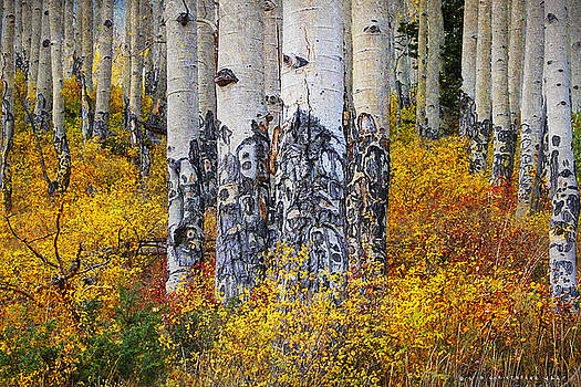 Totem-like Aspen Trees by R christopher Vest