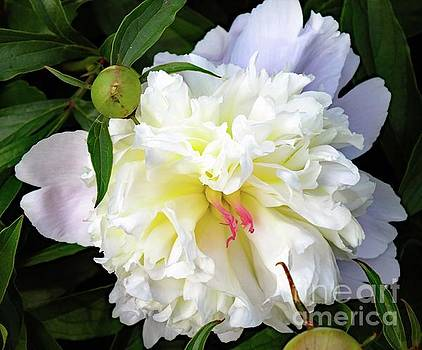 Cindy Treger - Touch Of Pink - Festiva Maxima Double White Peony