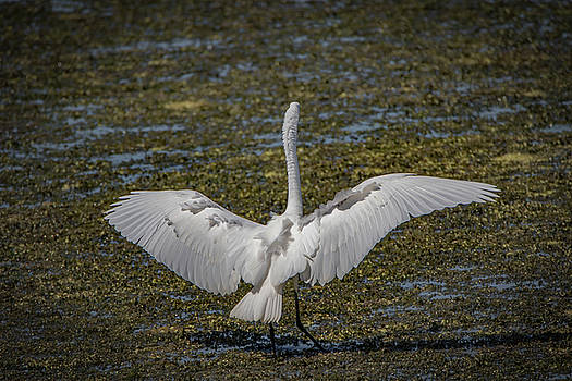 Touchdown Egret by Ray Congrove