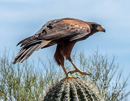 Tough Feet - Desert Hawk by Leo Bounds