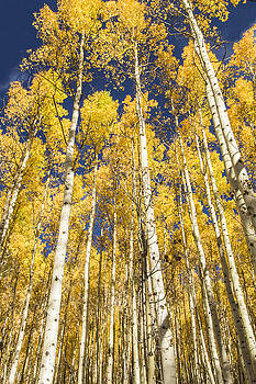 Towering Aspens by Phyllis Peterson