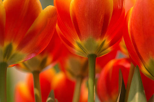Towering Tulips  by Julie Andel