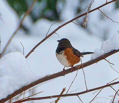 Spotted Towhee by Marilyn Wilson