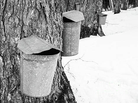 Traditional Maple Sap Collection Galvanized Buckets Vermont by Edward Fielding