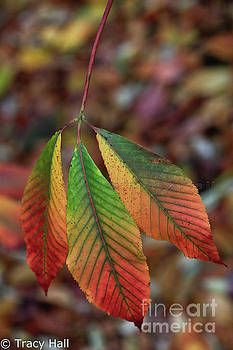 Traffic Light Leaves by Tracy Hall