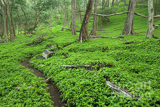 Charmian Vistaunet - Trail through Pololu Valley