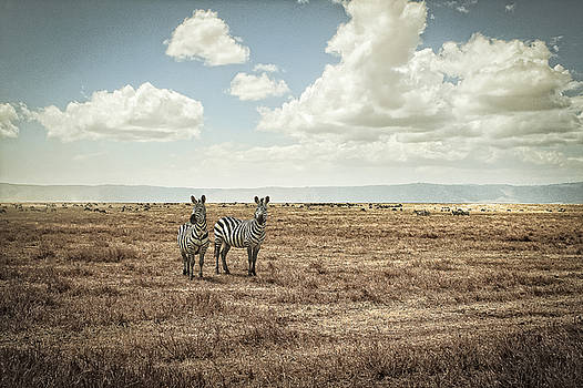 Tranquil Zebra,  Ngorgoro Crater by Justin Carrasquillo