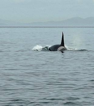 Transient Killer Whale by Brian Chase