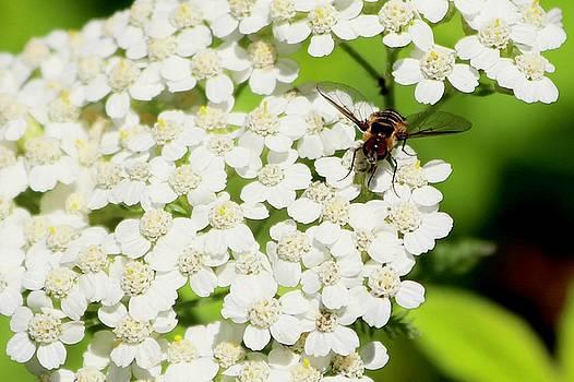 Transverse Flower Fly by Sarah Lilja