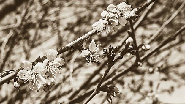 Jacek Wojnarowski - Tree Blossom A