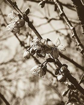 Jacek Wojnarowski - Tree Blossom B