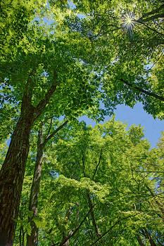 Nikolyn McDonald - Tree Canopy - Sunburst