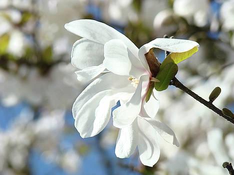 Baslee Troutman - Tree Floral Garden White Magnolia