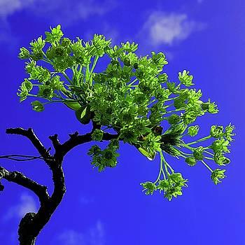 Colin Drysdale - Tree Flower