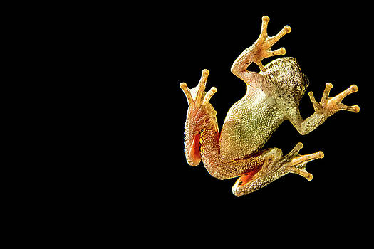 Tree Frog Under Glass by Brent L Ander