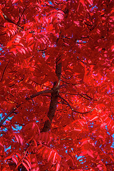 Tree Full Of Red Leaves by Garry Gay