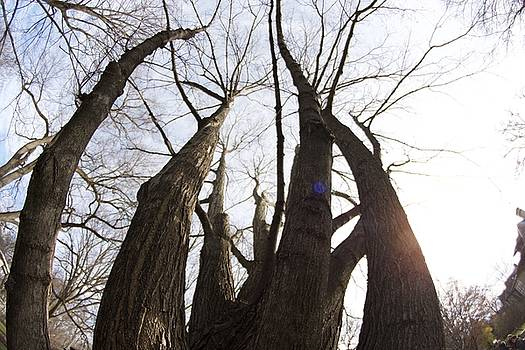 Tree Giants by Collette Rogers