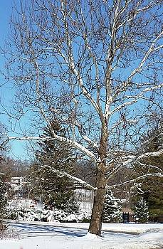 Sycamore Tree in Winter by Susan Wyman