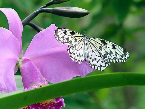 Tree Nymph Butterfly by Reni Boisvert