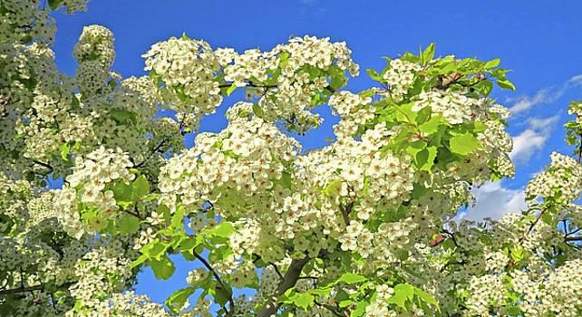 Tree  Of  White  Flowers by Carl Deaville