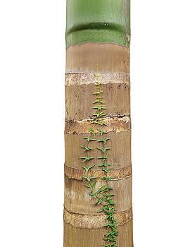 Tree on White - Roystonea regia - Royal Palm by Matt Tilghman