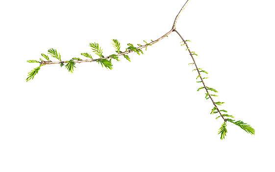 Tree on White - Taxodium distichum Spring Awakening by Matt Tilghman