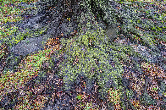 Tree Roots by Dennis Clark