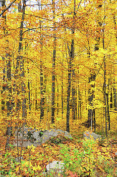 Tree Stands of Gold by Sarah Rodefeld