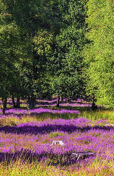 Tree Stumps in Common Heather Field by Wim Lanclus