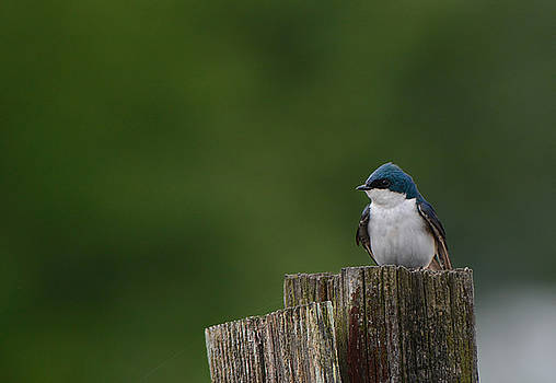 Tree Swallow At Lake Graham 052120152251 by WildBird Photographs