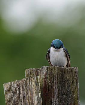 Tree Swallow At Lake Graham 052120152255 by WildBird Photographs