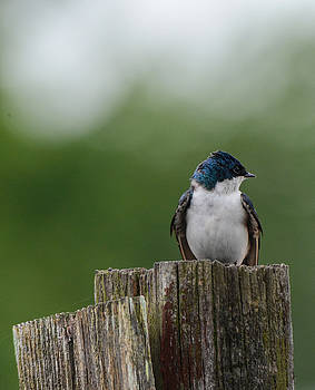Tree Swallow at Lake Graham 052120152261 by WildBird Photographs