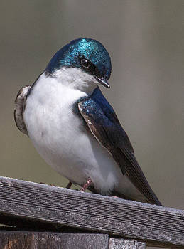 Dee Carpenter - Tree Swallow