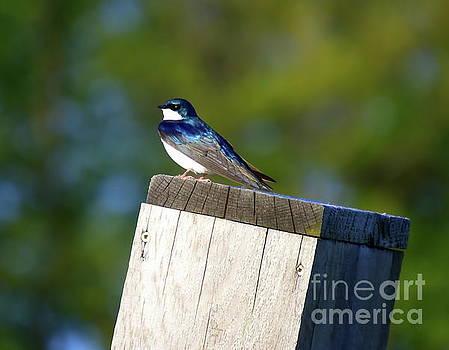 Tree Swallow by Irfan Gillani