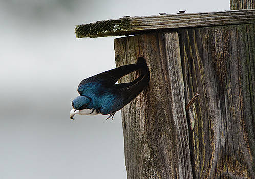 Tree Swallow Poop Sack Removal 052120152387 by WildBird Photographs