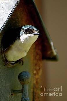 Tree Swallow by Stephanie Bland