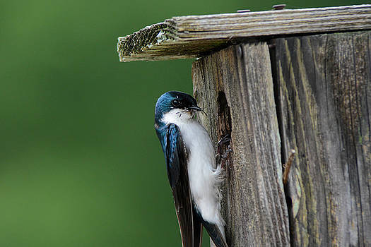 Tree Swallow With Bug At Nesting Box 052120152307 by WildBird Photographs