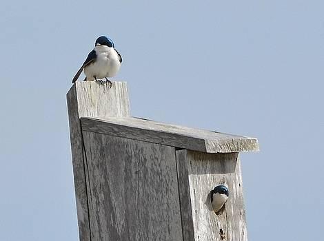 Tree Swallows by Lorelei Galardi