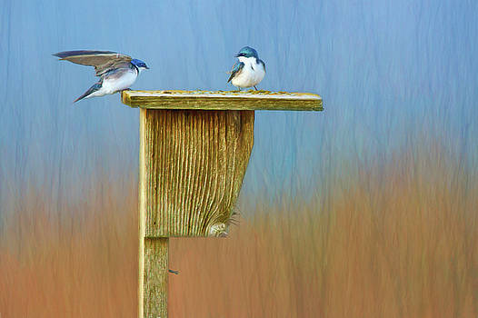 Nikolyn McDonald - Tree Swallows - Nest Box