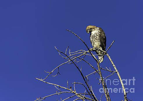 Tree Top Hawk by Bill Baer