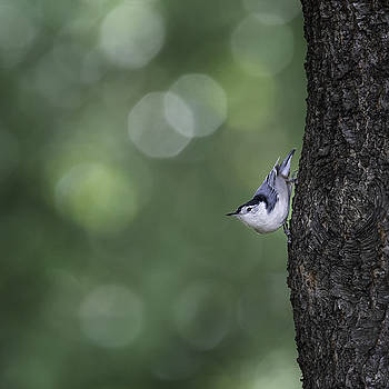 White Breasted Nuthatch by Hali Sowle