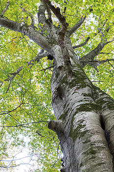 Tree with green and yellow leaves looking up through canopy by Natalie Schorr