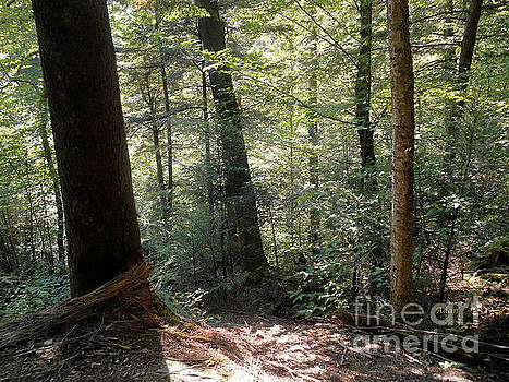 Trees Among the Light Bingham Falls Vermont by Felipe Adan Lerma