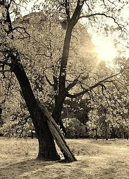 Trees in Yosemite by Julie Lourenco