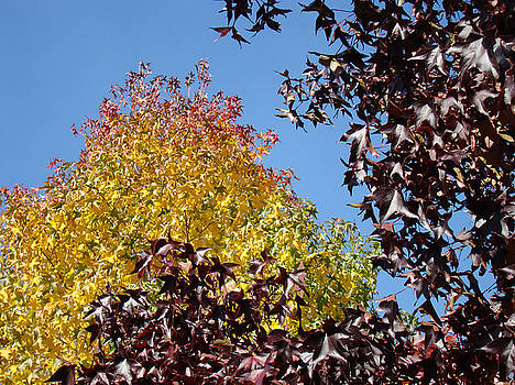 Baslee Troutman - Trees Landscape Blue Sky art prints Fall Leaves