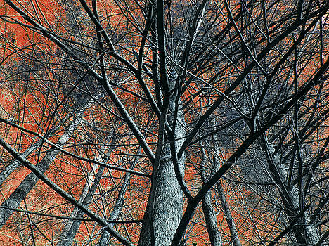 Trees on red. by Itai Minovitz